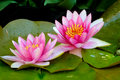 Beautiful pink waterlillies in bloom. Royalty Free Stock Photo
