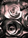 Beautiful pink white and black rose flower illustration background and texture in the garden