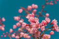 Beautiful Pink white Cherry blossom flowers tree branch in garden with blue sky, Sakura. natural winter spring background. Royalty Free Stock Photo
