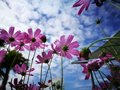 Beautiful pink and white cosmos flower againt blue sky in the fresh sunshine day. Royalty Free Stock Photo