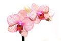 Beautiful pink and white orchid Stock Images