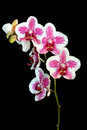 Beautiful pink and white orchid Royalty Free Stock Photos