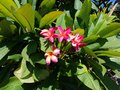 Beautiful Pink and Yellow Plumeria Flowers Royalty Free Stock Photo