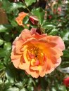 Orange and yellow rose flower bloom in the garden Royalty Free Stock Photo