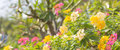 Beautiful pink yellow white flower nature background soft Royalty Free Stock Image