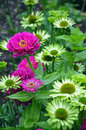 Beautiful pink zinnia flowers blooming in green garden Stock Photos