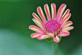 Beautiful pink zinnia in sunlight morning Royalty Free Stock Photography