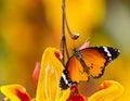 Beautiful plain tiger butterfly danaus chrysippus perching on flower thumbergia mysorensis close up Stock Photo
