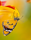 Beautiful plain tiger butterfly danaus chrysippus perching on flower thumbergia mysorensis close up Royalty Free Stock Photos