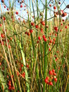 Beautiful plant of asparagus officinalis with red berries Stock Images
