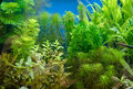 Beautiful planted tropical freshwater aquarium Royalty Free Stock Photo