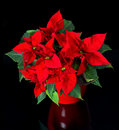 Beautiful poinsettia. red christmas flower Royalty Free Stock Photo