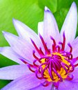 Beautiful pollens of purple water lily nature fresh Stock Photography