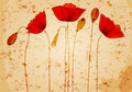 Beautiful poppies background illustration Royalty Free Stock Photo