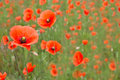 Beautiful poppies in a field Royalty Free Stock Photo