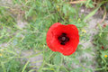 Beautiful poppy flower Royalty Free Stock Photo