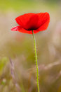 Beautiful poppy flower with selective focus macro shot Stock Image
