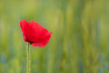 Beautiful poppy flower with selective focus macro shot horizontal Royalty Free Stock Photo