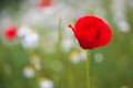 Beautiful poppy flower with selective focus macro shot horizontal Stock Photo
