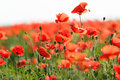 Beautiful poppy flowers wild in a meadow Stock Photo
