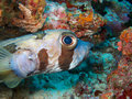 Beautiful porcupinefish maldivian coral reef Stock Images