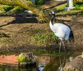 Beautiful portrait of a japanese crane walking in the water, Endangered bird specie from Asia Royalty Free Stock Photo