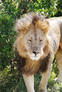 A beautiful portrait of lion in Masai Mara National Park Royalty Free Stock Photo