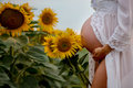 Beautiful pregnant woman, wearing white fashion dress in sunflower field Royalty Free Stock Photo