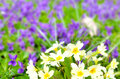 Beautiful primulas Royalty Free Stock Image