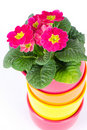 Beautiful primulas flowers in colorful buckets Royalty Free Stock Image