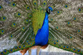 Beautiful proud peacock majestic with colorful tail exposed Royalty Free Stock Images