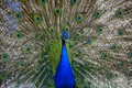 Beautiful proud peacock majestic with colorful tail exposed Stock Photos