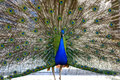Beautiful proud peacock majestic with colorful tail exposed Stock Image