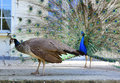 Beautiful proud peacock majestic with colorful tail exposed Royalty Free Stock Photos