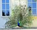 Beautiful proud peacock majestic with colorful tail exposed Royalty Free Stock Photography