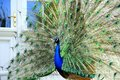 Beautiful proud peacock majestic with colorful tail exposed Royalty Free Stock Photo