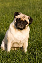 Beautiful pug dog Royalty Free Stock Photos