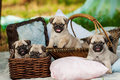 Beautiful pug dog puppies in a basket outdoors on summer day Royalty Free Stock Photo