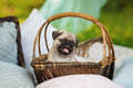 Beautiful pug dog puppy in a basket outdoors on summer day Royalty Free Stock Photo