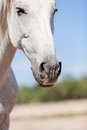 Beautiful pura raza espanola pre andalusian horse outdoor in summer Royalty Free Stock Photos