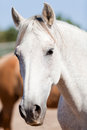 Beautiful pura raza espanola pre andalusian horse outdoor in summer Stock Photos