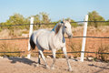 Beautiful pura raza espanola pre andalusian horse outdoor in summer Royalty Free Stock Images