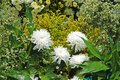 Beautiful pure white chrysanths - economic flower plant Royalty Free Stock Photo
