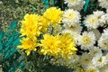 Beautiful pure white and yellow chrysanths - economic flower plant Royalty Free Stock Photo