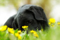 Beautiful purebred black Labrador puppy lying in the summer outd Royalty Free Stock Photo