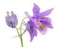 Beautiful Purple Aquilegia (Columbine) Flower Stock Photography