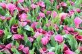 Beautiful purple of calla lilies in garden Royalty Free Stock Photo
