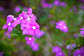 Beautiful purple flower in a garden. - (Selective focus) Royalty Free Stock Photo