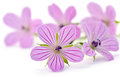 Beautiful purple flower Royalty Free Stock Photo