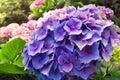 Beautiful purple flowers of Hydrangea macrophylla or Hortensia in the garden Royalty Free Stock Photo
